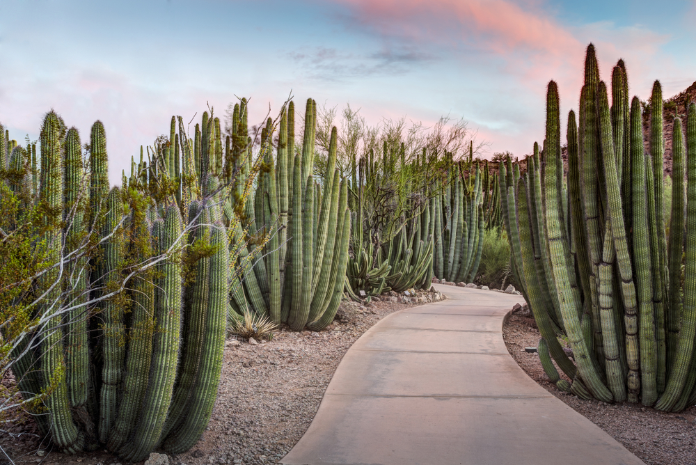 Walkway through a forest of Organ Pipe (Stenocereus thurberi) Cactus plants in Phoenix Arizona.